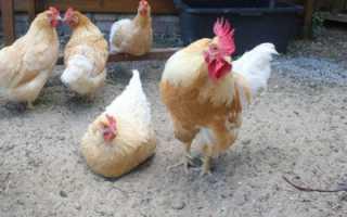 О мясных породах кур: описания и характеристика, какие лучшие для дома