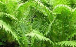Все о растении папоротник: как выглядят семена и листья, свойства растения