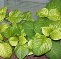 Лечение хлороза гортензии: описание, причины болезни, способы обработки растения