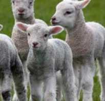 Как называются детеныши овцы: маленький ребенок барана, ягненок, особенности