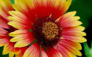 Как посадить и вырастить кореопсис: лучшие сорта растения, описание