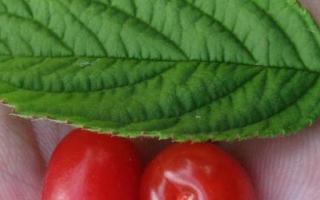 О вишне войлочной: описание и характеристики сортов, разножение, уход