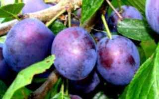 О сливе Тульская Черная: описание сорта, агротехника выращивания и особенности