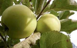 О яблоне Народное: описание и характеристики сорта, уход и выращивание