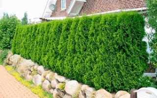 Как выбрать туи и посадить живую изгородь: пошаговая инструкция для садоводов