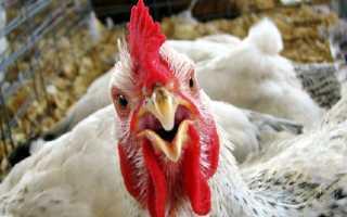 Лечение кур водкой: лечим бройлеров и цыплят — можно ли пропоить (дозировка)