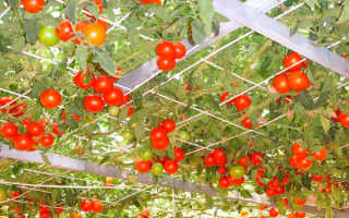 Томатное дерево (спрут): как вырастить в домашних условиях, в открытом грунте
