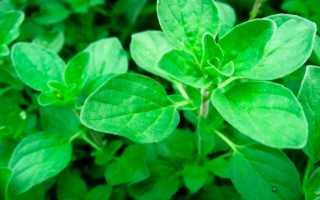 Как вырастить майоран: посев и уход за растением, условия для хорошего роста