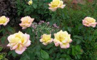 О розах клаймингах (плетистые, чайно гибридные розы): Пауль Скарлет, Крайслер