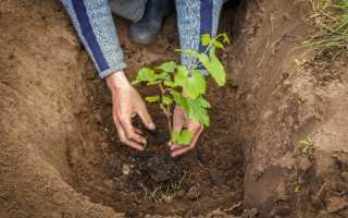 Как выбрать место для посадки винограда на участке — правила посадки