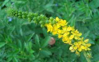 О траве репешок: как выглядит, полезные свойства, сфера применения