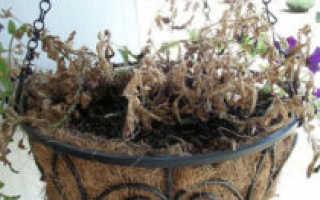 Почему засыхают листья и бутоны петунии: причины, как восстановить растение