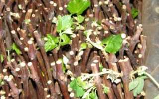 Заготовка на зиму, хранение, кильчевание и проращивание черенков винограда