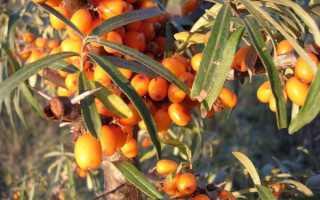 О размножении облепихи: как посадить облепиху черенками весной, выращивание