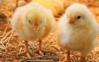 О поносе у цыплят: что делать, чем лечить бройлеров в домашних условиях