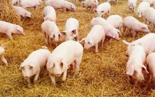 Все о породах свиней для разведения в домашних условиях: описание