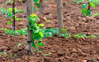 Обработка винограда борной кислотой перед цветением — как подкормка