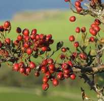 Боярышник обыкновенный — описание, как выглядит, дерево или кустарник, посадка и уход