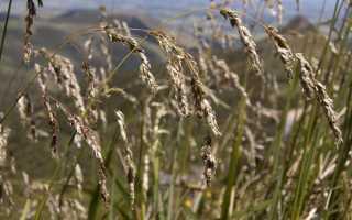 О траве зубровка: как выглядит, где растет, полезные свойства и применение