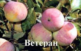 О яблоне Ветеран: описание сорта, характеристики, агротехника, выращивание