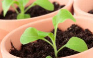 О посадке петунии на рассаду: когда сеять и как выращивать растение