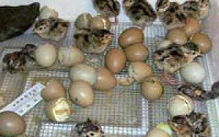 О яйцах фазана: таблица инкубации и вывод птенцов с помощью инкубатора