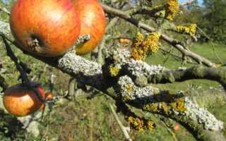 Лишайник на яблоне (как избавиться), чем лечить сажистый грибок