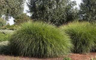Лучшие сорта декоративной травы: описание, использование в ландшафтном дизайне