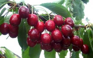 О черешне Тютчевка: описание и характеристики сорта, посадка, уход, выращивание