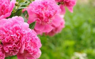 О видах пионов: какого цвета бывают сортовые цветы, их описание и характеристики