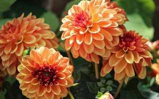 Георгины многолетние: как выглядят, какой цветок похож на георгину
