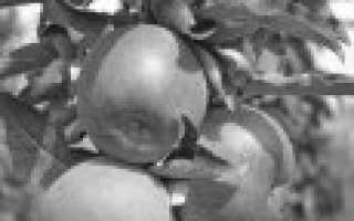 О колоновидной яблони: описание ранних, скороспелых, сладких сортов