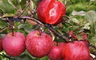 О сорте яблок Розовый Жемчуг: описание и характеристики сорта, посадка и уход