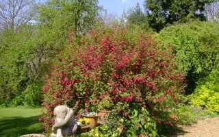 Смородина Кроваво-красная (Король Эдвард): описание сорта, уход и выращивание