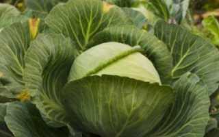 Почему и что делать, если у рассады капусты сохнут листья и становятся желтыми