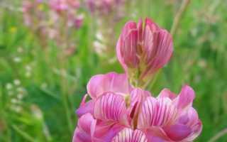 О траве эспарцет: как выглядит, где растет, полезные свойства, применение