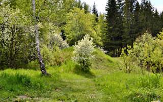 О яблоне: где растет, сколько лет живет, полезные свойства и противопоказания