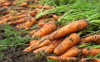Лучшие сорта моркови для выращивания на Урале и в средней полосе России