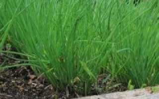 О посадке лука на перо: как выращивать на зелень, подробные правила посадки