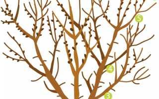 Об облепиховом дереве: описание и характеристика, когда созревает, чем обработать