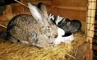 Когда можно случаться крольчихе после окрола: основные рекомендации и технологии