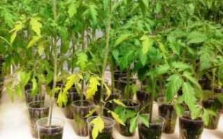 Почему желтеют листья у рассады помидоров и плохо растет рассада, что с этим делать