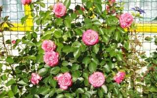 О выращивании плетистых роз на Урале в открытом грунте: самые зимостойские сорта