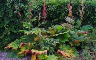 Как вырастить ревень: посев и уход за растением, условия для хорошего роста
