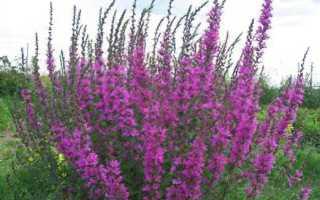 О траве плакун: какое это растение, описание, полезные свойства и применение