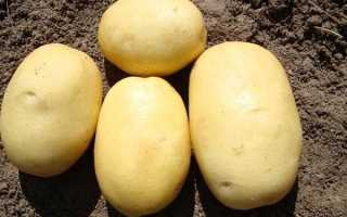 О картофеле Джувел: описание семенного сорта, характеристики, агротехника