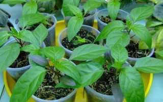 О стимуляторах роста для рассады томатов и перца: описание средств для роста
