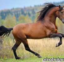 Гнедая масть лошади: какой это цвет, описание, виды масти, уход за лошадью