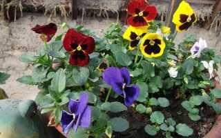 Как выращивать анютины глазки из семян в открытом грунте и в домашних условиях