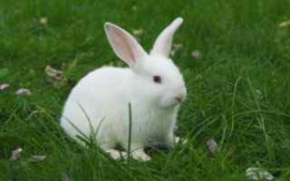 Почему кролик пьет свою мочу: какого цвета должна быть моча, кровь в моче